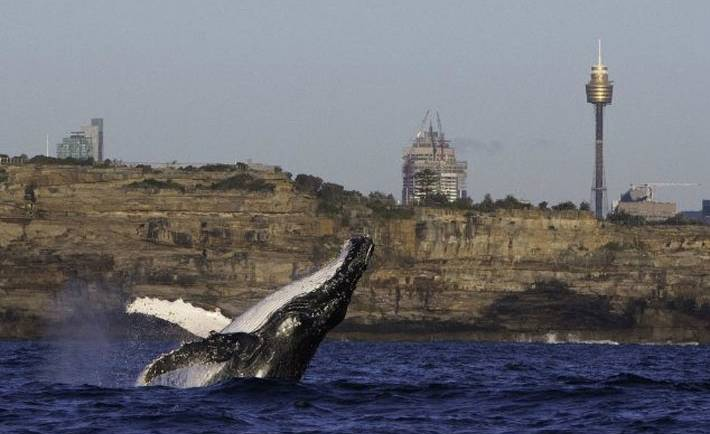 Sydney Yacht Charters getting surprise whale sightings
